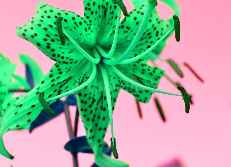 Colori di effetto di fantasia bei di verde su un fondo rosa, giglio del giardino di tigre inter-elaborato del fiore Foto diverten fotografia stock libera da diritti