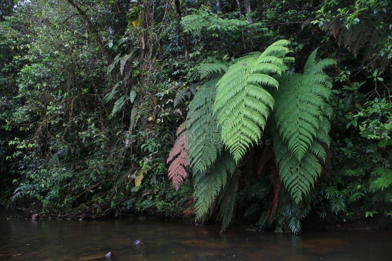 Colori differenti delle felci enormi accanto ad un fiume in foresta pluviale tropicale fotografia stock libera da diritti