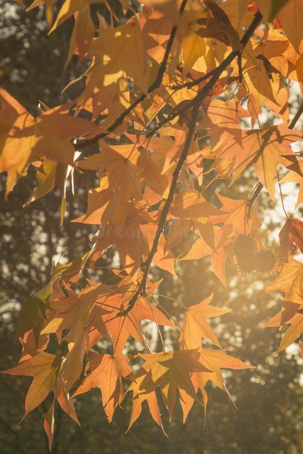 Download Colori Gialli Di Autunno Nel Tramonto Della Lampadina Immagine Stock - Immagine di albero, tramonto: 104089119
