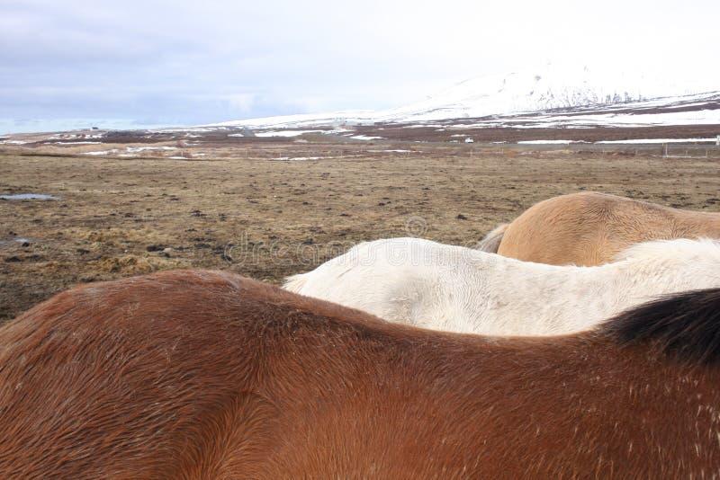 Colori islandesi del cavallo immagini stock libere da diritti