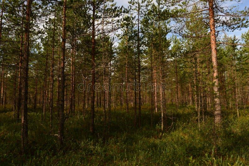 Colori luminosi la palude verde della foresta pluviale sotto il cielo azzurro della mattina d'estate fotografia stock libera da diritti