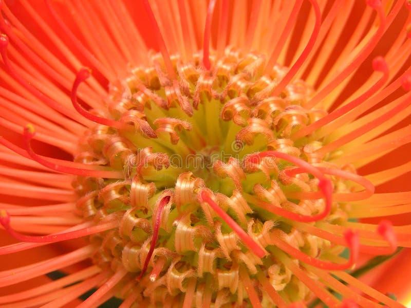 Colori rossi esotici immagine stock immagine di petali - Immagine di lucertola a colori ...