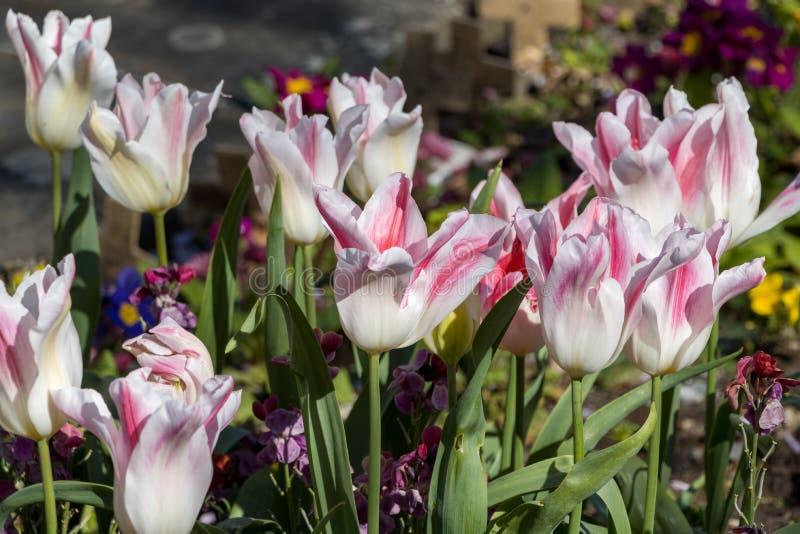 Colorida muestra de tulipanes blancos y rojos en el Este de Grasa fotos de archivo libres de regalías