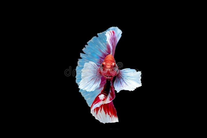 Colorido com cor principal de peixes vermelhos e cor-de-rosa do betta, o peixe de combate Siamese foi isolado no fundo preto Pesq foto de stock royalty free