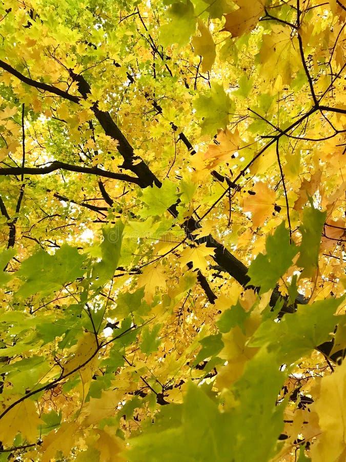 Colorido das folhas de outono no ramo Natureza da cor da folha que muda do verde ao fundo amarelo, alaranjado e vermelho imagem de stock royalty free