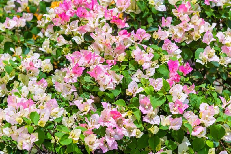 Colorido de flores da buganvília no jardim fotografia de stock royalty free