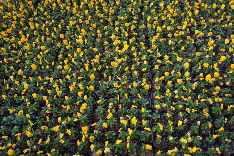 Colorido de la flor del pensamiento foto de archivo libre de regalías