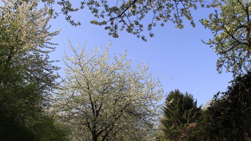 Colorido de la primavera Cherry Blooming imagen de archivo