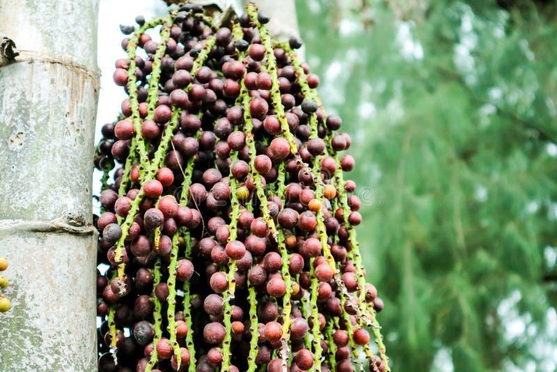colorido de la semilla de la palma en la palmera adorne en jardín foto de archivo