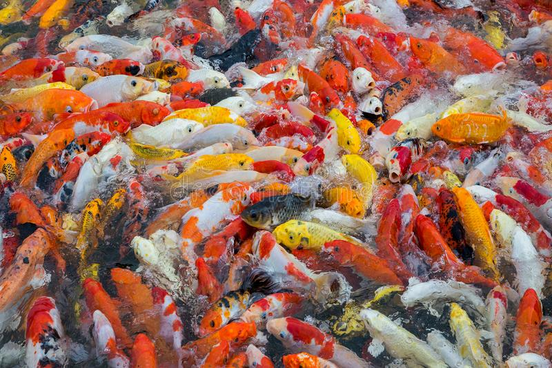 Colorido de pescados hermosos del koi imagen de archivo libre de regalías
