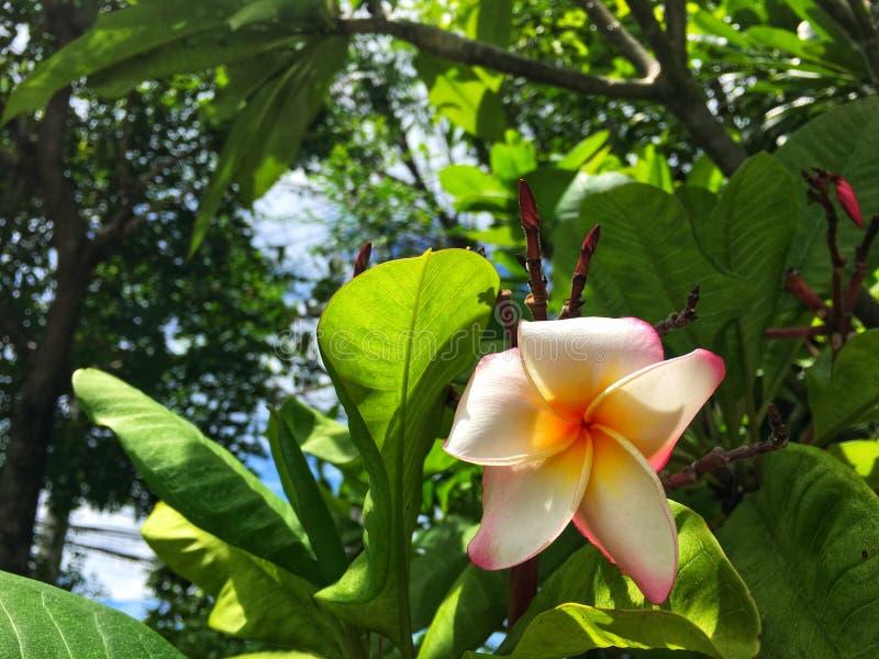 Colorido del rosa blanco y de la flor amarilla del frangipani que florecen en rama con las hojas verdes en luz del sol de la tard imagen de archivo