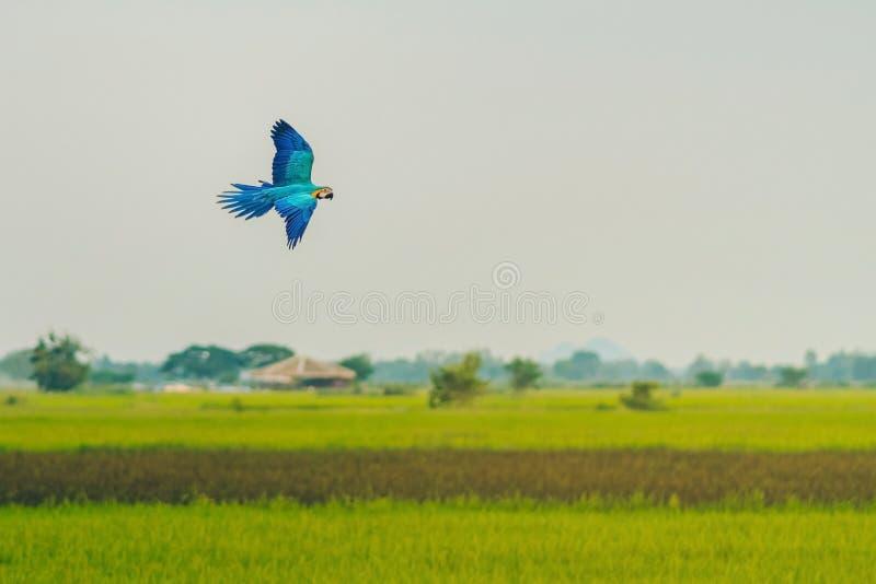 Colorido do voo da prática do papagaio da arara fotografia de stock