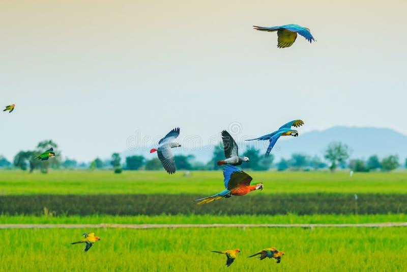 Colorido do voo da prática do papagaio da arara fotografia de stock royalty free