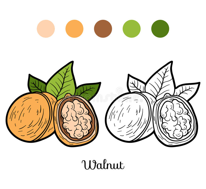 Coloring book for children: fruits and vegetables (walnut). Coloring book, education game for children: fruits and vegetables (walnut stock illustration