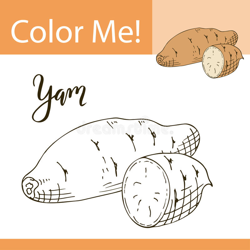 Coloring book or page of vegetable. Vector illustration with hand drawn yam.  vector illustration
