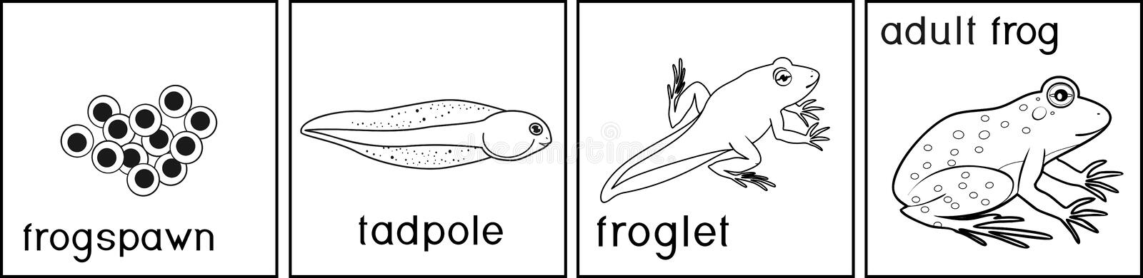 Coloring page. Life cycle of frog with titles. Coloring page with life cycle of frog with titles vector illustration
