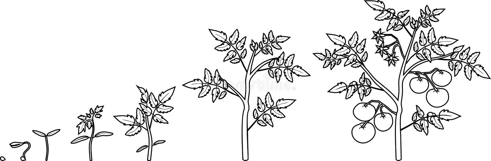 Coloring page. Life cycle of tomato plant. vector illustration