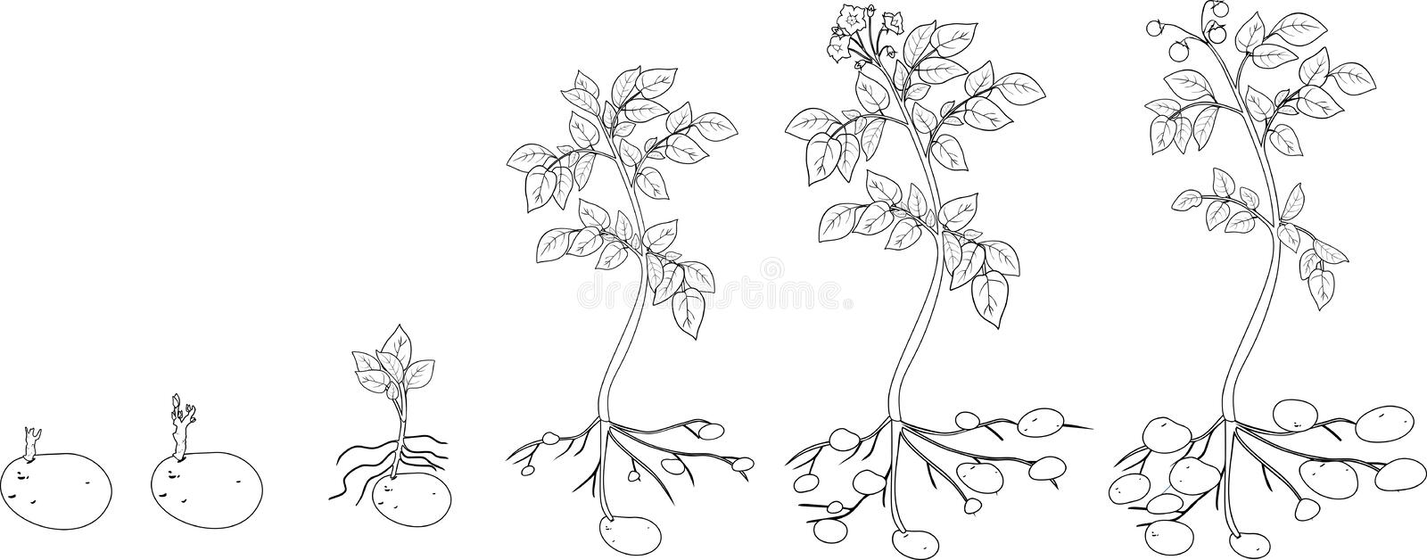 Coloring With Potato Plant Growth Cycle Stock Vector - Illustration ...