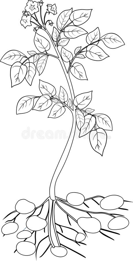 Coloring with Potato plant stock vector. Illustration of root - 73233905