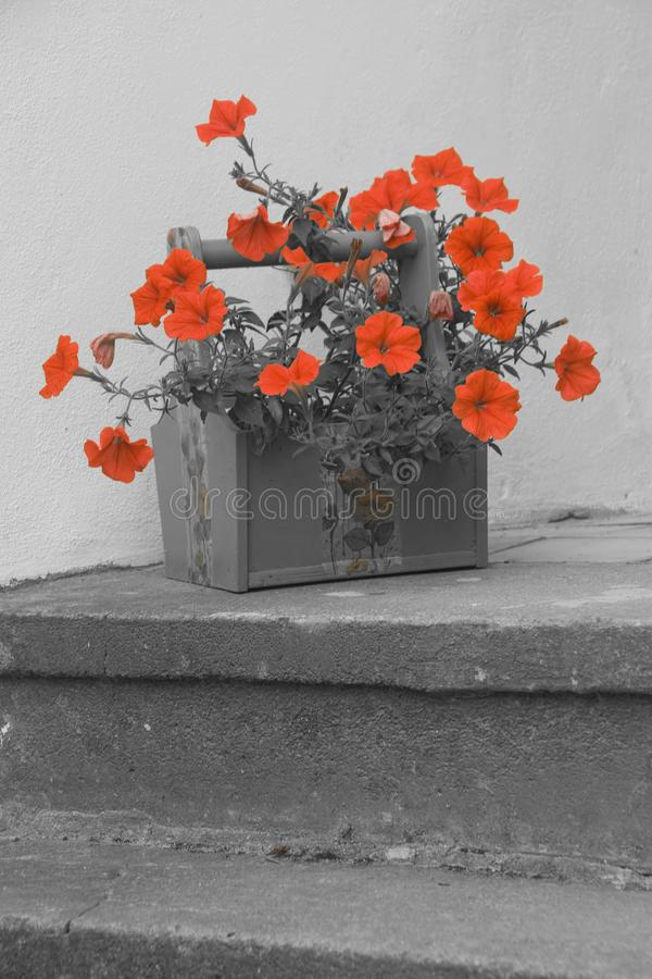 Colorized fotografia czerwone petunie obraz stock