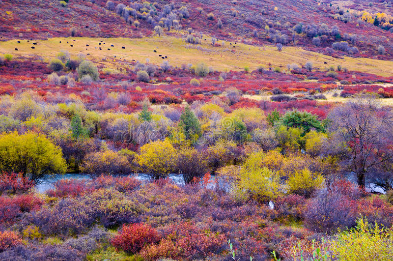 The colorized Rangeland. The rangeland which is in Bipenggou-Miyaluo area of Sichuan province, the southwestern China. It's the famous colorized forest viewing stock photo