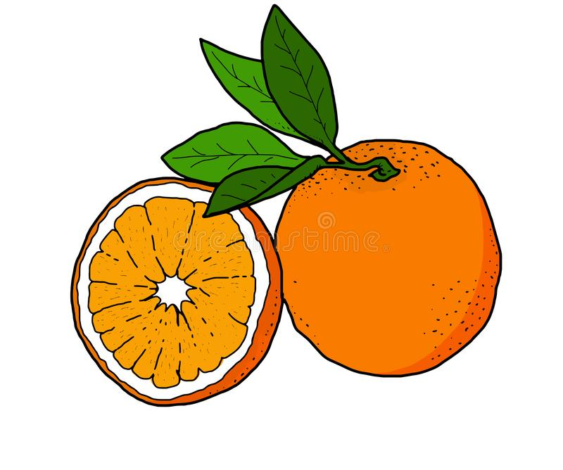Colorless realistic linear illustration of some oranges. You can use this illustration as you want royalty free illustration