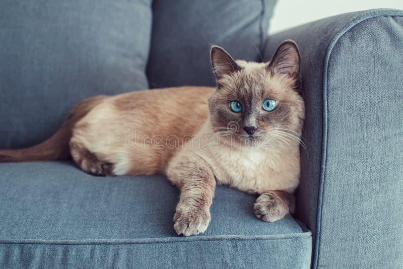 colorpoint blauw-eyed kat die op laagbank liggen royalty-vrije stock afbeeldingen