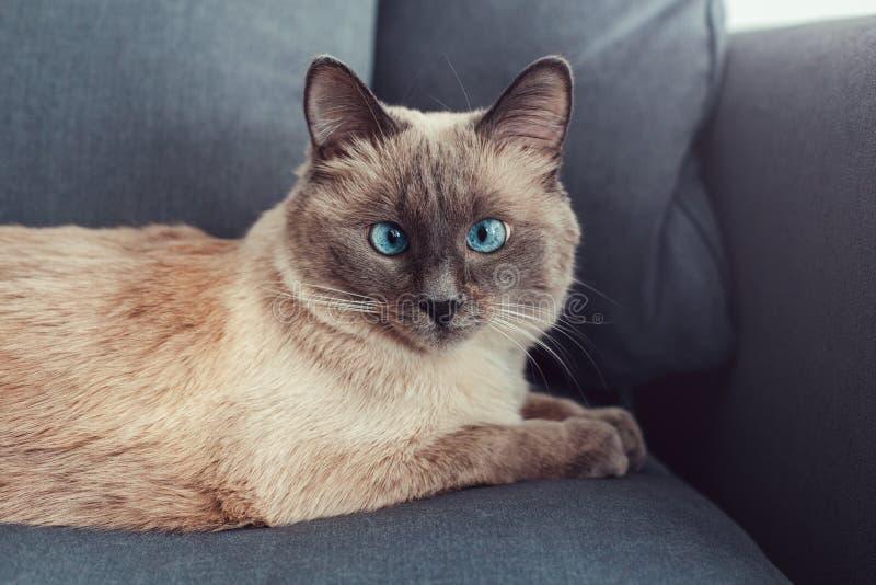 colorpoint blauw-eyed kat die op laagbank liggen royalty-vrije stock fotografie
