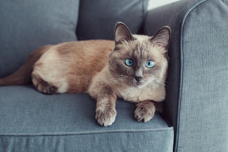 Colorpoint blue-eyed cat lying on couch sofa. Beautiful colorpoint blue-eyed cat lying on couch sofa looking in camera. Fluffy hairy domestic pet with blue eyes royalty free stock images