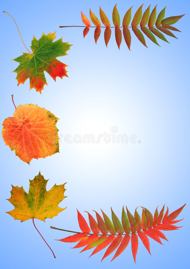 Colors of Autumn. Abstract arrangement of autumn leaves, rowan, grape and maple, forming a border. Set against a sky blue background with a white central inner royalty free stock photography