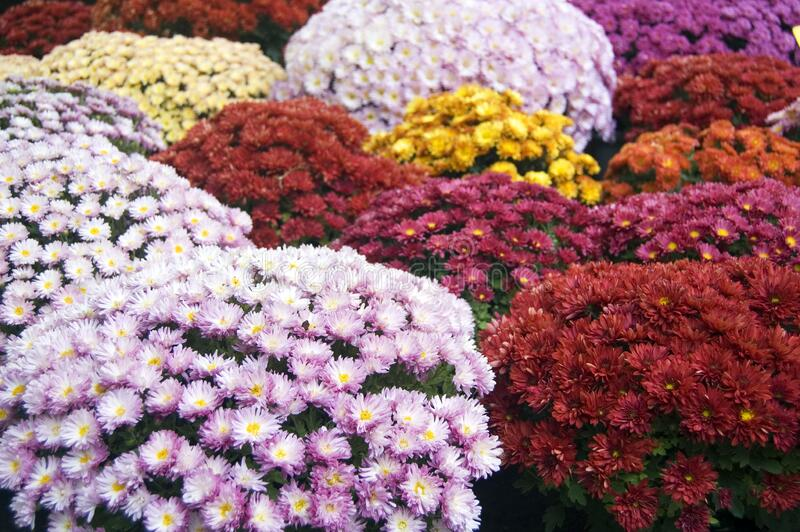 Colors of autumn, autumn flowers, blooming chrysanthemums, bright colors royalty free stock images