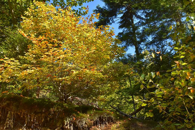 Download The Colors Of Autumn In Forest Stock Image - Image of yellow, plant: 104356663