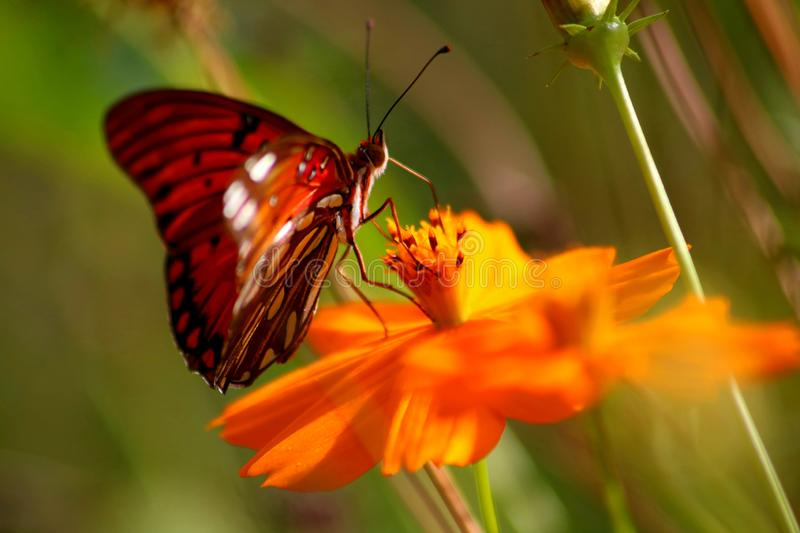The colors come out beautifully in the garden watching the butterfly flutter from flower to flower royalty free stock photos