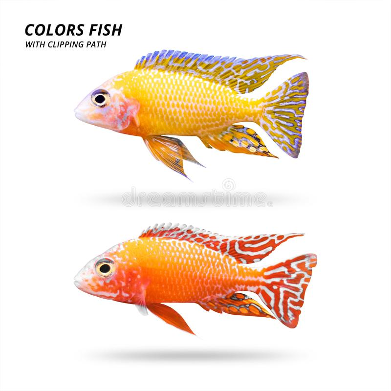 Colors fish isolated on white background. Beautiful cichlids. Clipping path vector illustration