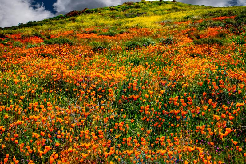 California Poppy fields landscape a picture of pastoral perfection. royalty free stock photo