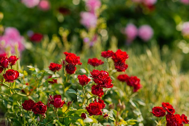 The colors of summer, roses in the garden. Roses add charm to any corner of the garden, but at the same time have a flexible nature that allows them to be used stock photo