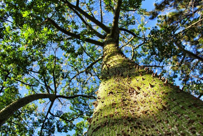 Colossal Ceiba speciosa tronc dans le jardin image stock