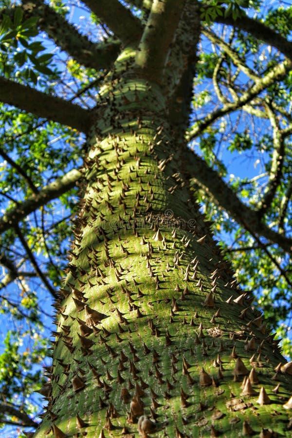 Colossal Ceiba speciosa tronc dans le jardin image libre de droits