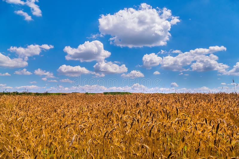 A colossal, yellow wheat field against a blue cloudy sky with fluffy clouds, a symbol of Ukraine royalty free stock photos