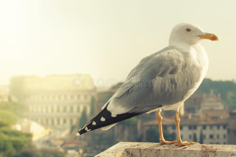Colosseum and Seagull. Rome, Italy. royalty free stock photo