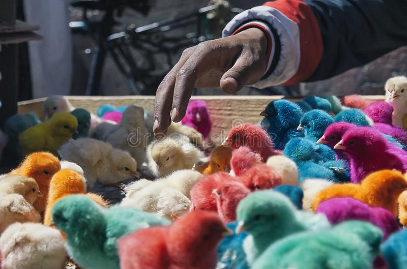 Colour chicks in Marrakesh market, Morocco, Africa. Colour chicks in Marrakesh souk market, Morocco, Africa royalty free stock photo