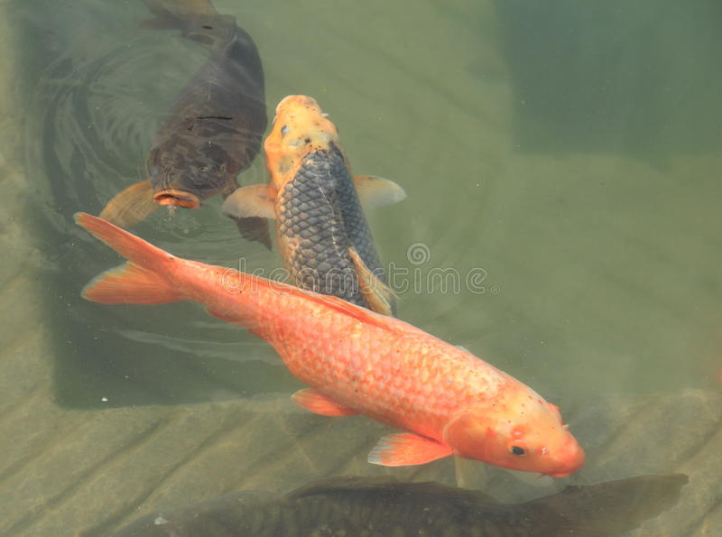 Fish in Golden Temple. royalty free stock photo