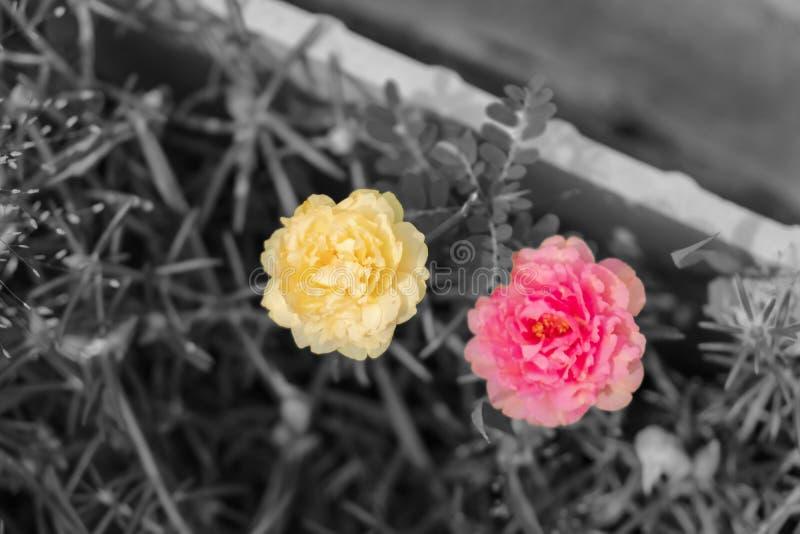 Colour kwiaty na czarny i biały wizerunkach, różowi portulaca grandiflora kwiatu, kolor żółty i obraz stock
