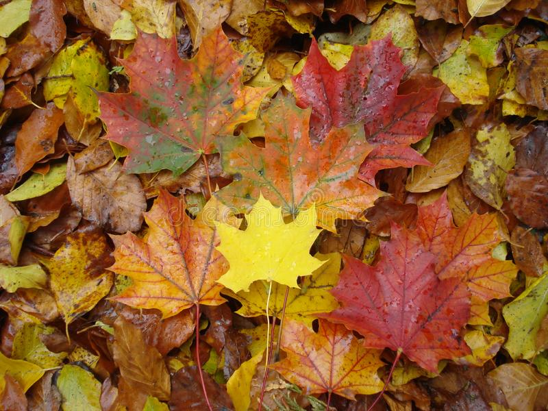 Coloured autumn leaves. Yellow royalty free stock image