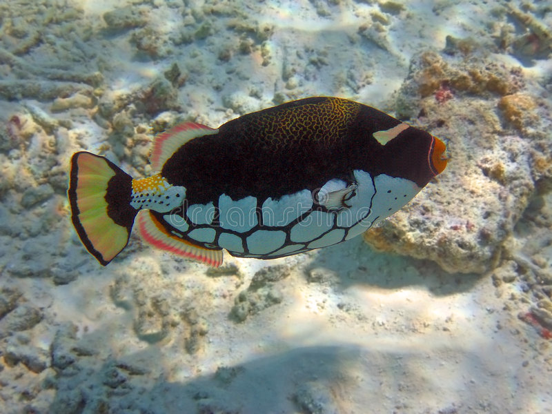 Coloured Clown triggerfish stock photography