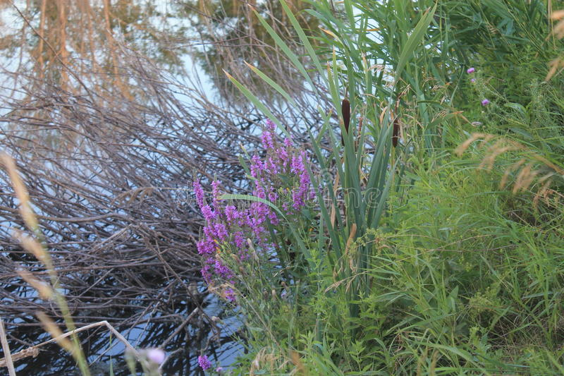 Coloured grass on lake shore stock image