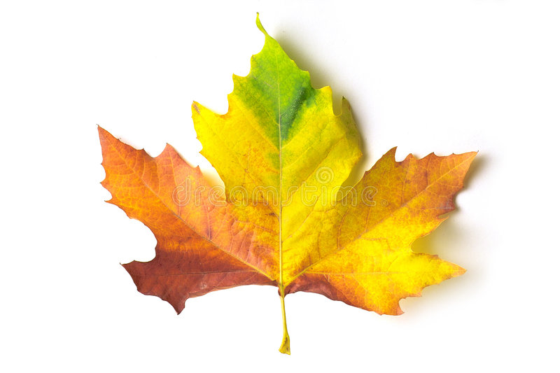 Download Coloured maple leaf stock photo. Image of isolated, colourful - 272926