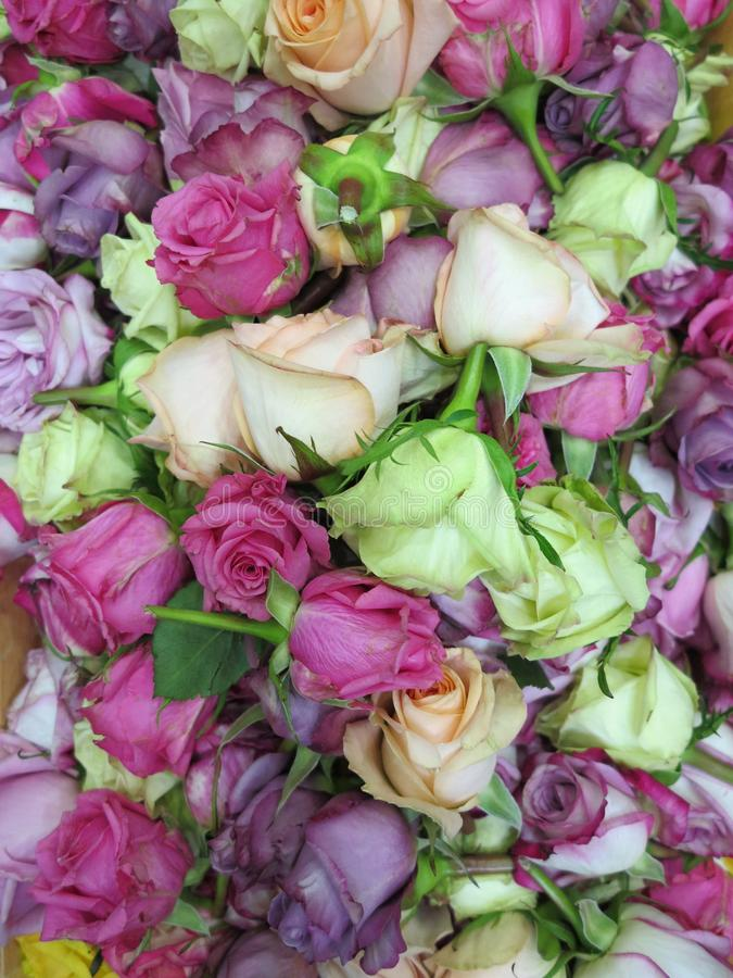 Coloured Roses, Gift for Lama royalty free stock image