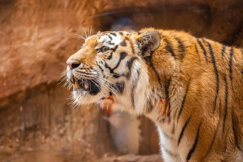 Coloured tiger portrait in a park. A coloured tiger portrait in a park royalty free stock image