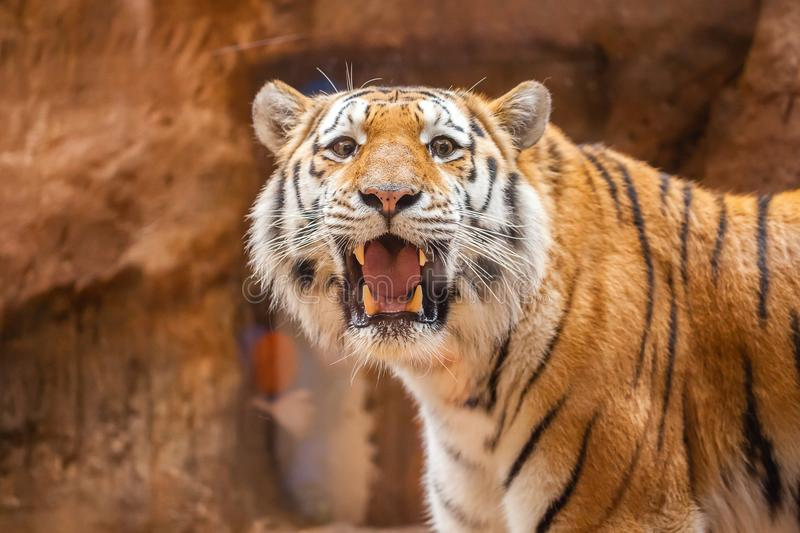 Coloured tiger portrait in a park. A coloured tiger portrait in a park stock images